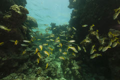Longspot snappers (lutjanus fulviflamma) in the Red Sea. Royalty Free Stock Photo