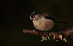 Longtail山雀。 免版税库存照片