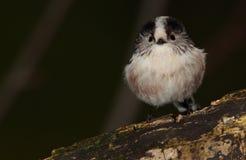 Longtail山雀鸟 免版税图库摄影