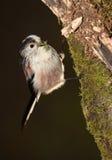 Longtail山雀鸟 免版税库存照片