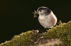 Longtail山雀鸟 库存图片