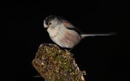 Longtail山雀鸟 免版税库存图片