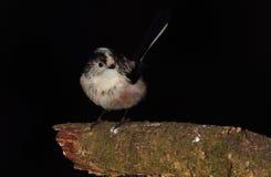 Longtail山雀鸟 图库摄影