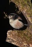 Longtail山雀鸟 库存照片