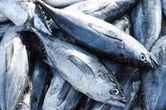 Longtail金枪鱼 免版税库存图片