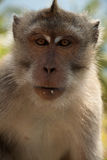 Longtail macaque on the bautiful Island Lombok, Indonesia. Longtail macaque monkey. Took a potrait of him on Lombok, Indonesia Stock Images