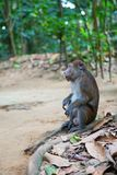 Longtail macaque in its natural environment Stock Photo