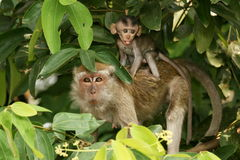 Longtail macaque with young Stock Images