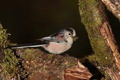 Longtail mesfågel Arkivfoton