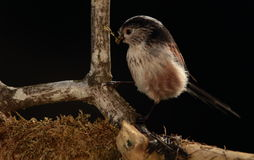 Longtail tit. Royalty Free Stock Image