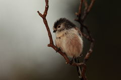 Longtail tit. Royalty Free Stock Photography
