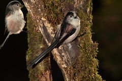Longtail tit bird. Stock Image