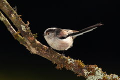 Longtail tit bird. Royalty Free Stock Images