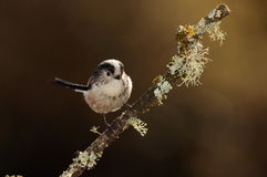 Longtail tit bird. Royalty Free Stock Photo