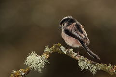 Longtail tit bird. Royalty Free Stock Photography