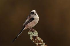 Longtail tit bird. Stock Photos