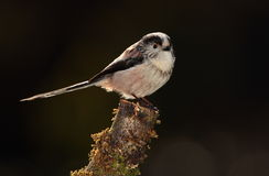 Longtail tit bird. Stock Photography