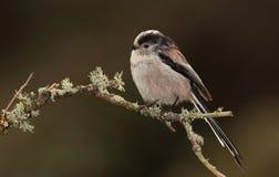 Longtail tit bird. Stock Photo
