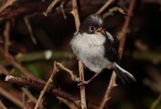 Longtail tit chick bird. Stock Photo