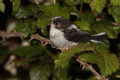 Longtail tit chick bird. Royalty Free Stock Photo