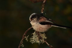 Longtail tit. Royalty Free Stock Photo