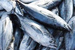 Longtail tuna. Tuna, Eastern little tuna, Thunnini, Longtail tuna, Northern bluefin tuna royalty free stock image