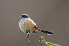 magpie (Longtailed )shrike (corvinella melanoleuca) Royalty Free Stock Photo