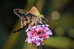Longtailed Skipper Butterfly on Pink Flowers. A longtailed skipper butterfly urbanus proteus insect sits on top of small pink flowers feeding in nature with its Royalty Free Stock Photos