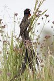 Longtailed Widow Bird in grassland Stock Photos