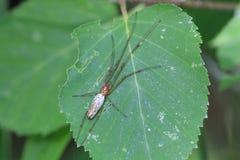 Longue araignée à mâchoire de tisserand de globe Images stock