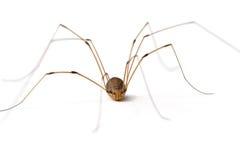 Longue araignée de pattes de papa photographie stock libre de droits
