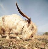 Longue chèvre de cheveu Images libres de droits