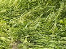 Longue fixation d'herbe image stock