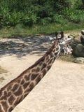 Longue girafe de cou Photographie stock