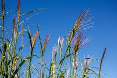 Longue herbe Photographie stock