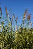 Longue herbe Photos libres de droits