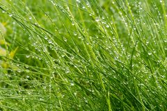 Longue herbe avec des perles de pluie image libre de droits