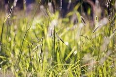 Longue herbe DOF Photographie stock