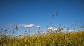 Longue herbe en vent et ciel bleu - panoramiques Images stock