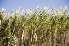 Longue herbe grande Images libres de droits
