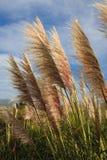 Longue herbe pelucheuse grande Images libres de droits