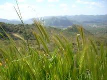 Longue herbe sauvage Image stock