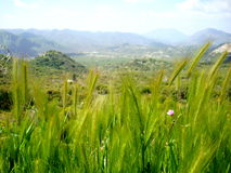 Longue herbe sauvage Photos libres de droits