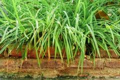 Longue herbe sur les briques images stock
