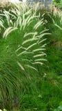 Longue herbe verte Photos stock