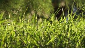 Longue herbe verte non coupée soufflant à l'arrière-plan de lumière de vent banque de vidéos