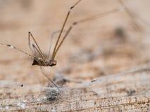 Longue jambe d'araignée dans le vieil en bois Images libres de droits
