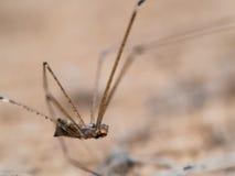 Longue jambe d'araignée dans le vieil en bois Image libre de droits