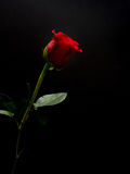 Longue rose de rouge de tige sur le fond noir Photographie stock libre de droits