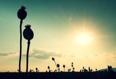 Longue tige de clou de girofle Le champ de soirée du pavot se dirige avec le soleil à l'horizon Photos stock